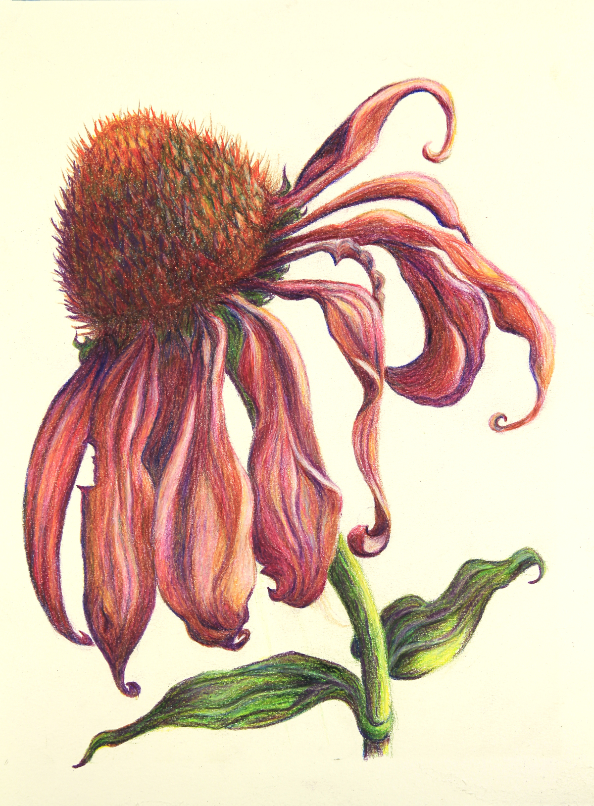 """Healing Echinacea"" by Lynn Vincent ."
